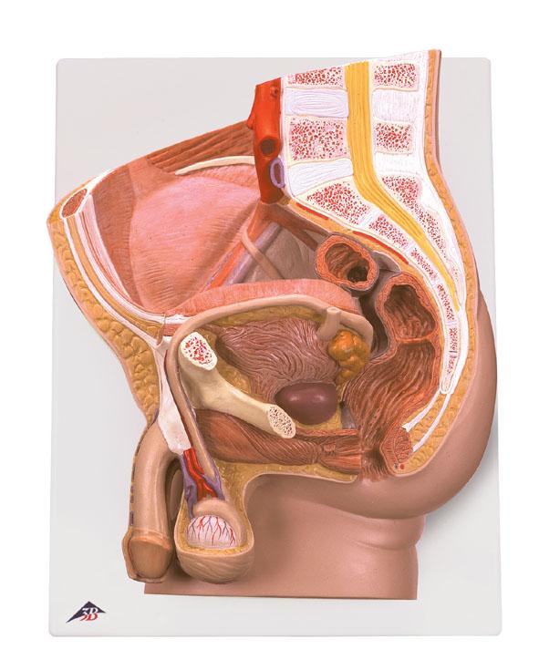 Mod Male Reproductive Organs Model 2 Parts Human Biology Models